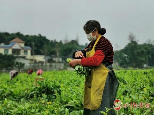 45长池村村民将采摘后的蔬菜扎成捆.jpg
