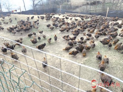 农户散养的美姑土鸡.jpg