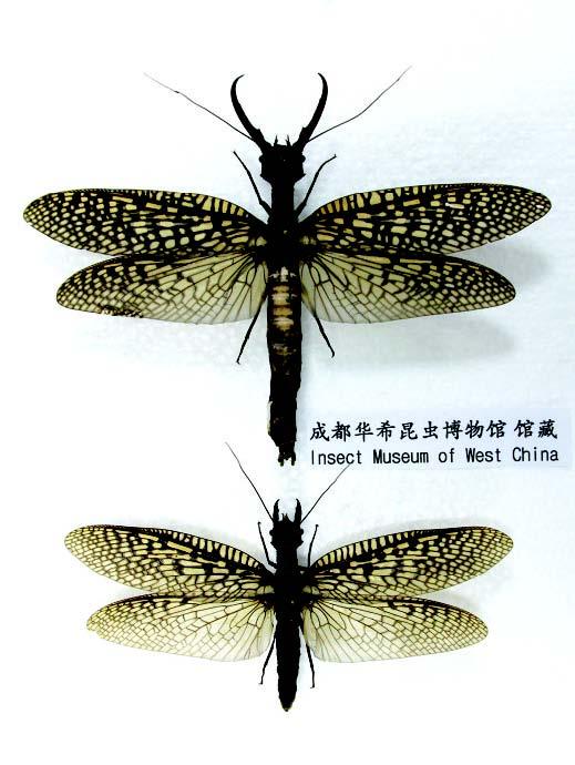 越中巨齿蛉雌雄对比(上雄下雌).jpg