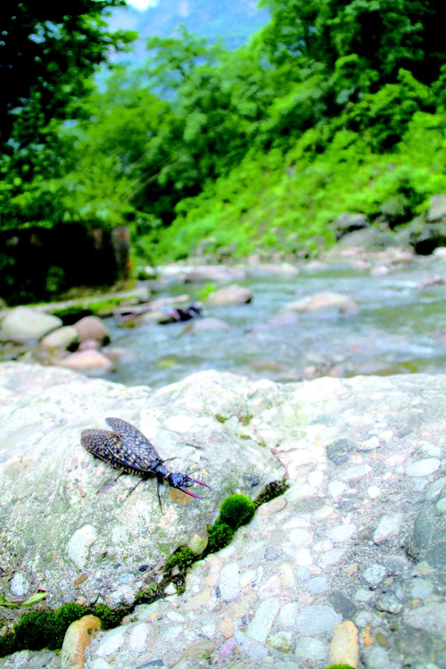味江边的越中巨齿蛉.jpg