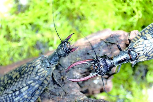 一對越中巨齒蛉相遇,面對不喜歡的雄性,雌性做出攻擊威脅動作.jpg