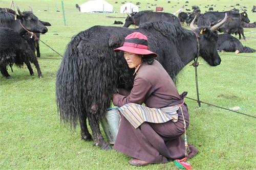 5理塘贫困牧民集体牧场挤牛奶挣钱.jpg