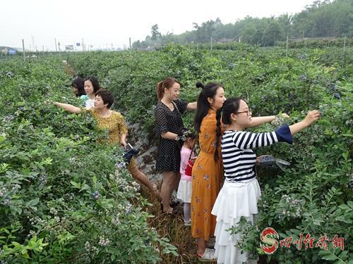 25(网)眉山市东坡区的蓝莓熟了配图    采摘的游客.jpg