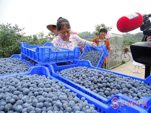 25(网)眉山市东坡区的蓝莓熟了配图    基地工人正在工作.jpg