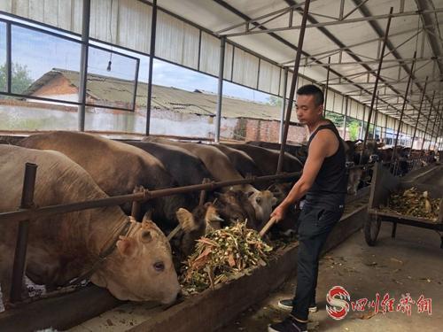 """12(网)不当医生当""""牛倌"""" 回乡创业养肉牛配图    给肉牛喂喂料.jpg"""