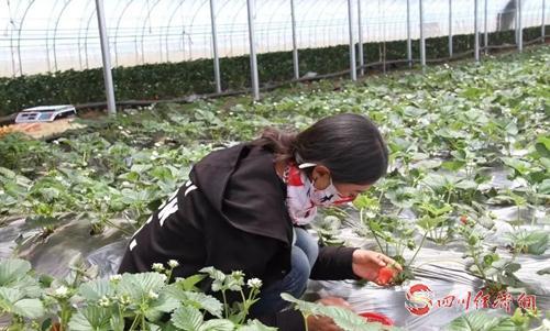26(网)理塘县给土壤输液让果蔬更纯配图    配图1:采摘草莓_看图王.jpg