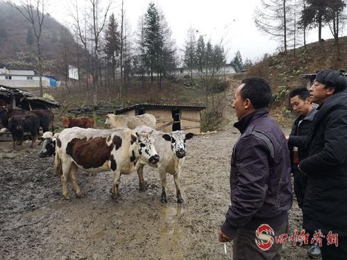 图4:对村民养殖的花牛进行验收 .jpg