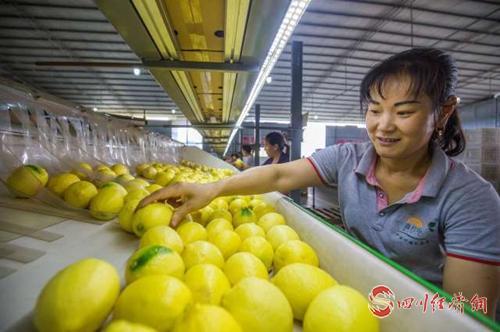 23(网)首届世界柠檬产业发展大会将于9配图    分拣柠檬.jpeg
