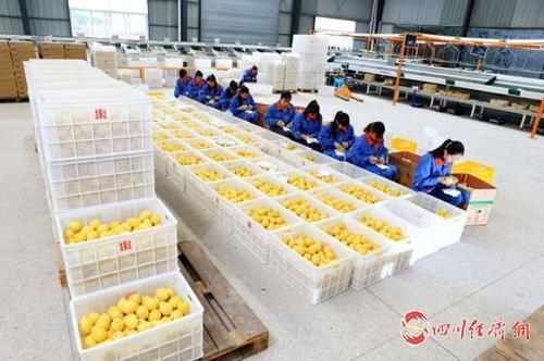23(网)首届世界柠檬产业发展大会将于9配图    精选柠檬装箱.jpeg