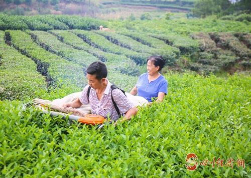 45(网)翠屏区:茶园机采__助农增收(1)配图    茶农操作采茶机采茶.jpg