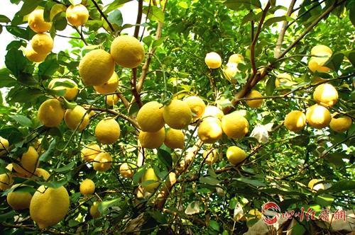 03(网)首届世界柠檬产业发展大会发布中配图    安岳柠檬.jpg