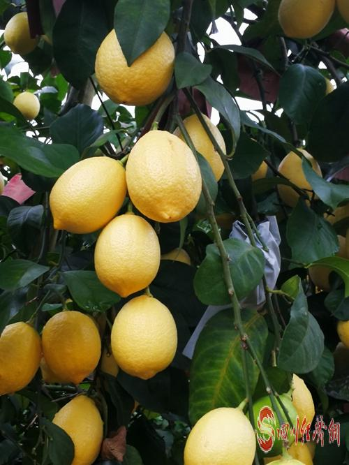 31(网)全球柠檬产业专家安岳共谋柠檬产配图    成熟的柠檬.jpg