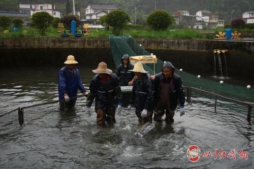 34 四川润兆渔业有限公司工人辛勤收获.jpg