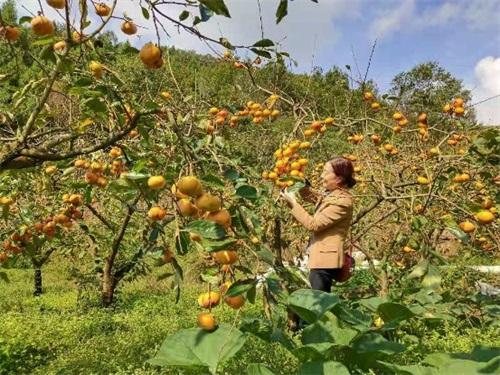 29(29刘 网 0927 际恒)广元仙和甜柿 我们只生产最优质的的甜柿配图    甜柿 图三.jpeg