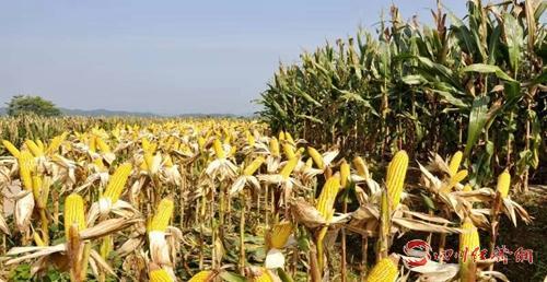 01(网)宣汉县被命名为国家农产品质量安配图   丰收的玉米.jpg