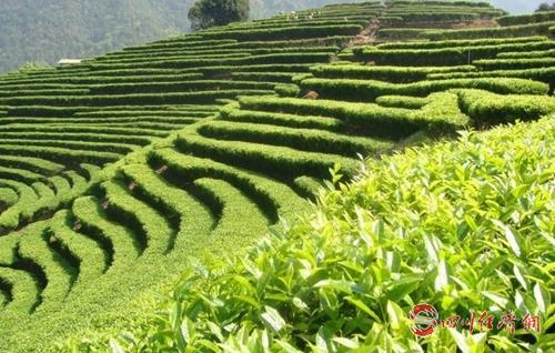 01(网)宣汉县被命名为国家农产品质量安配图   茶叶基地_副本.jpg