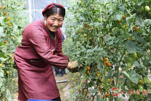 配圖3:村民采摘成熟的番茄.jpg