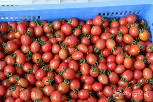 配圖4:采摘的番茄.jpg