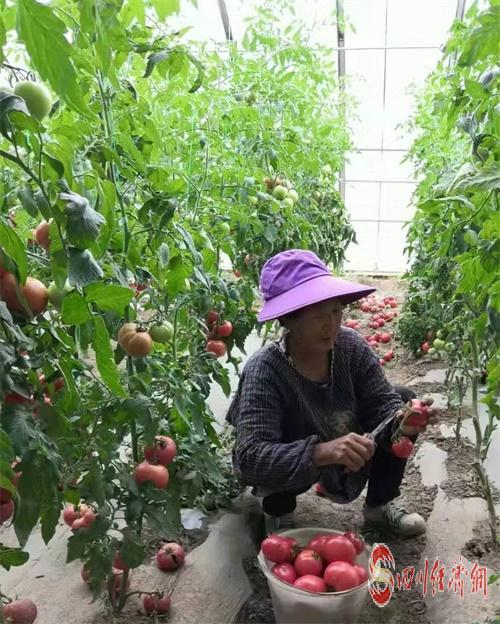 配圖2:德格縣貧困群眾在園區采摘蔬菜.jpg