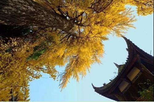 """12(12刘 网 1122 际恒)稿三:周日,来温江与银杏进行一场金黄色的约""""绘""""吧!配图   图一:温江文庙.jpg"""