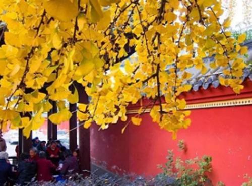 """12(12刘 网 1122 际恒)稿三:周日,来温江与银杏进行一场金黄色的约""""绘""""吧!配图   图二:温江公园.jpg"""