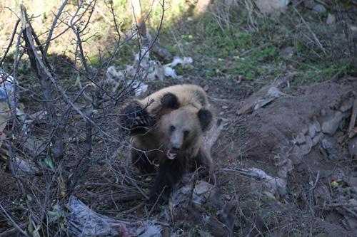 25(网)棕熊偷吃苹果被困 道孚县相关部门及时解救配图   配图1:棕熊被困.jpg