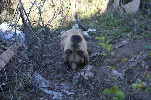 25(网)棕熊偷吃苹果被困 道孚县相关部门及时解救配图   配图2:棕熊被困.jpg