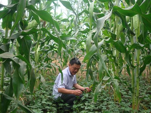 """32(网)罗文彬:中坝村产业富民的""""主心骨""""配图   罗文彬查看玉米地里套种的折耳根.jpg"""