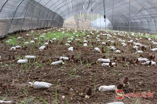 28大棚里生长的羊肚菌.jpg