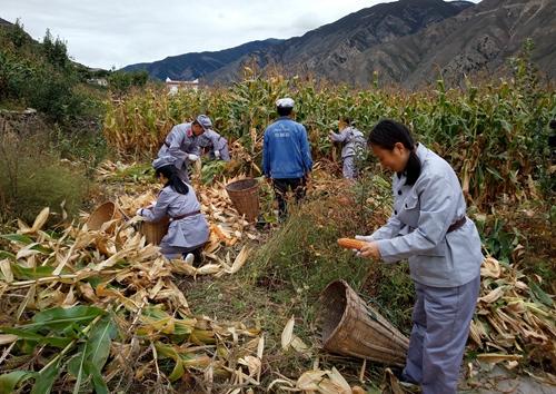 29 到田间掰玉米.jpg