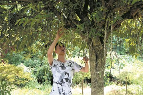 22(网)退伍军人回乡创业走上致富辟新路配图    在树上试验石斛种植。.png