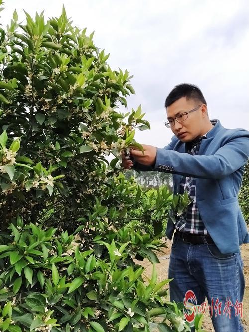 49(網)彭山:新型職業農民的鄉村振興夢配圖   對柑橘進行帶花修剪.jpg