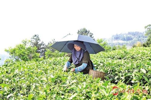 村民在茶园内采茶.jpg