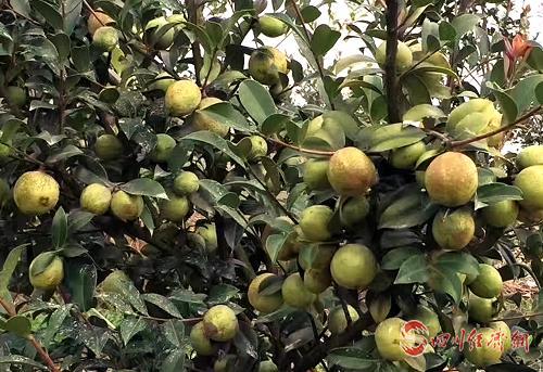 具有較高經濟價值的油茶樹.png